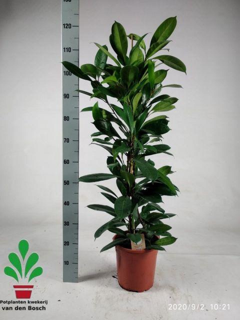 <h4>Ficus Cyathistipula 24Ø 120cm</h4>