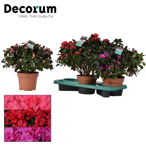 <h4>Azalea 17 cm MIX 3 srt Decorum</h4>