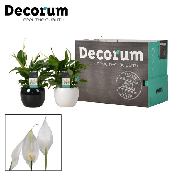 <h4>Spathiphyllum 13 cm Bellini Decorum</h4>