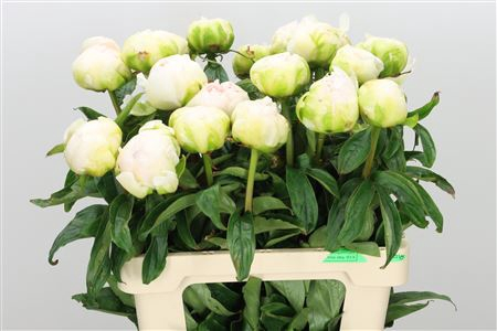 <h4>Paeonia L Brother Chuck</h4>