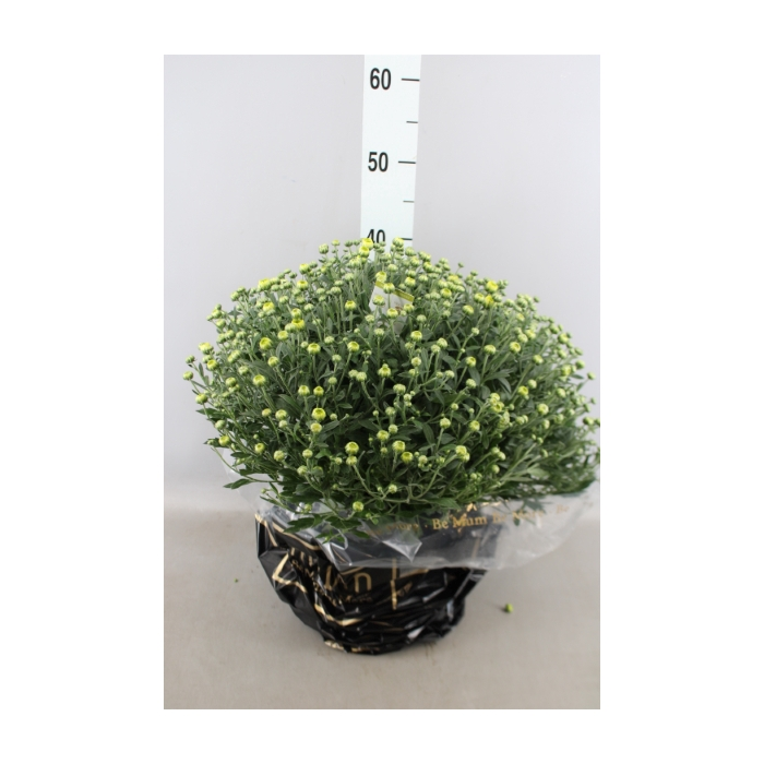 <h4>Chrysanthemum  'BelgM Primo Pistac'</h4>