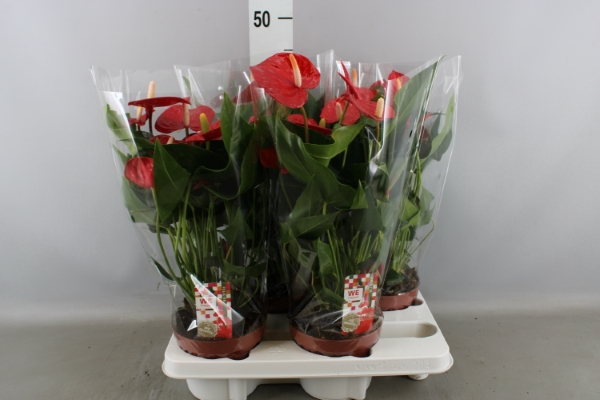 <h4>Anthurium andr. 'Felicita'</h4>