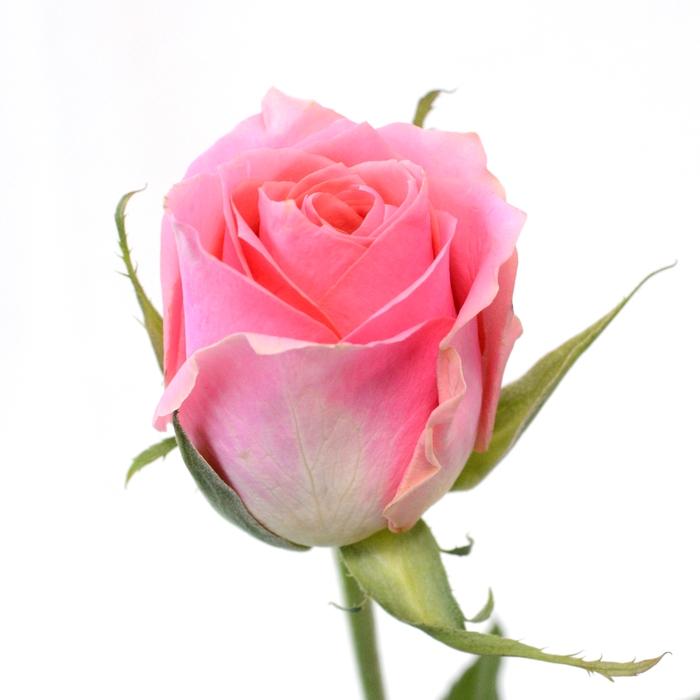 <h4>Rose Ace Pink</h4>