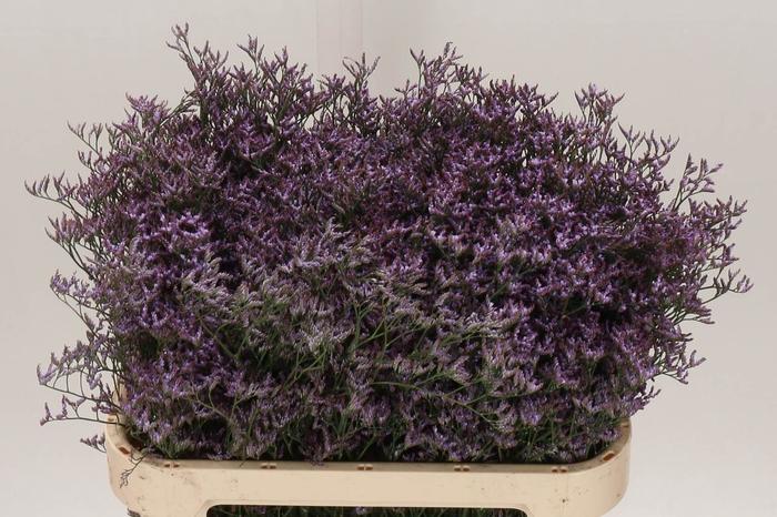 <h4>Limonium Saf Lilac</h4>