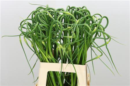 <h4>Allium Sat Ophiosco Curly</h4>