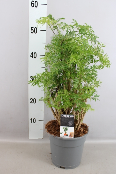 <h4>Polyscias fruticosa</h4>