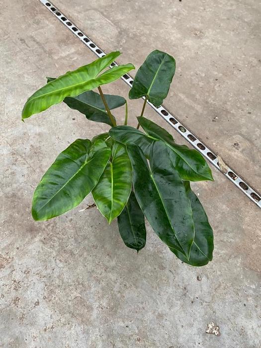 <h4>Philodendron Burle Marx 15Ø 40cm</h4>
