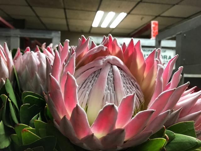 <h4>Protea Cynaroides Pink</h4>