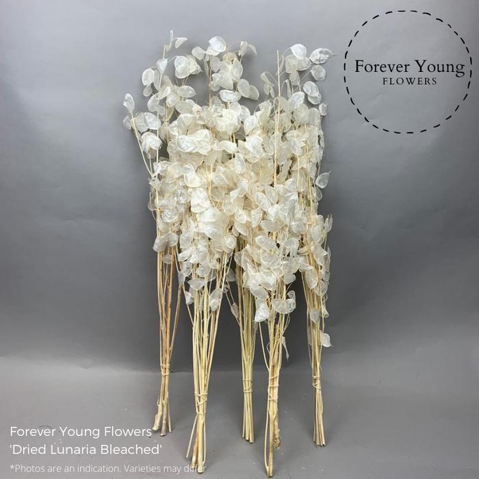 <h4>Dried Lunaria Bleached</h4>