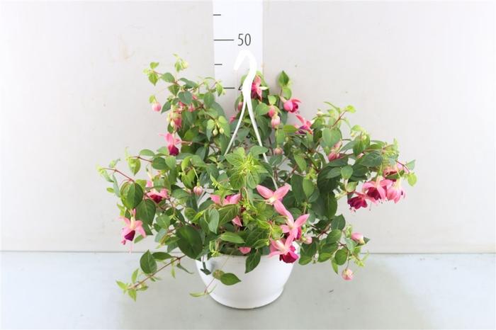 <h4>Fuchsia Fulgens</h4>