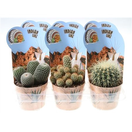 <h4>Cactus Gemengd Potcover Indian</h4>