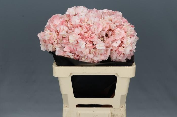 <h4>Hydrangea Light Pink Premium</h4>