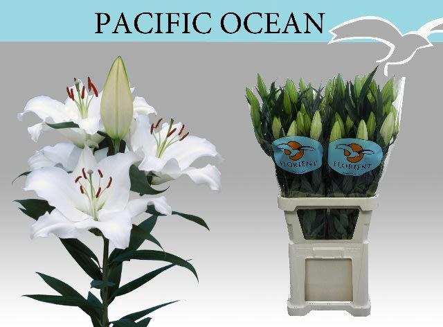 <h4>LI OR PACIFIC OCEAN</h4>