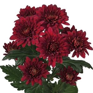 Chrysanthemum spray rabelo