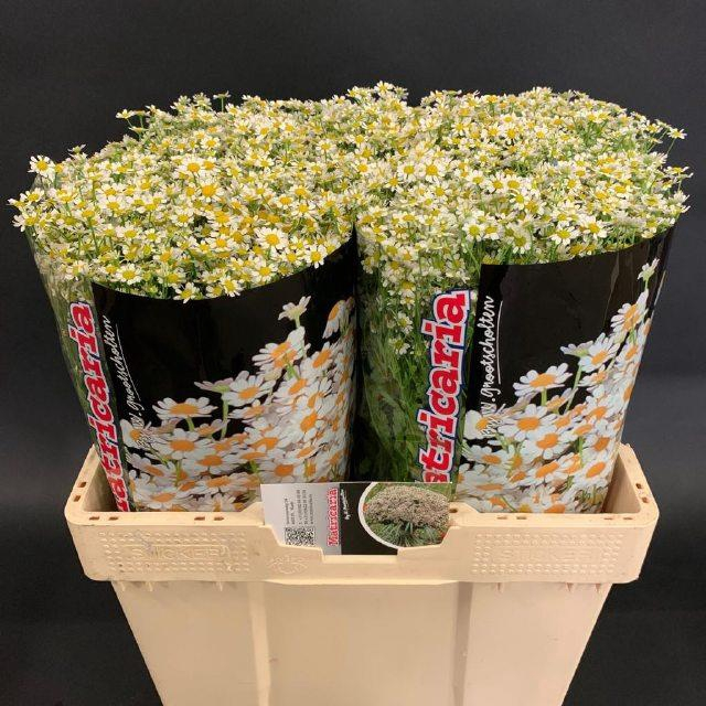 <h4>TANA PA SINGLE VEGMO</h4>