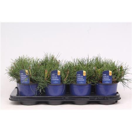 <h4>Pinus Mugo Pumilio</h4>