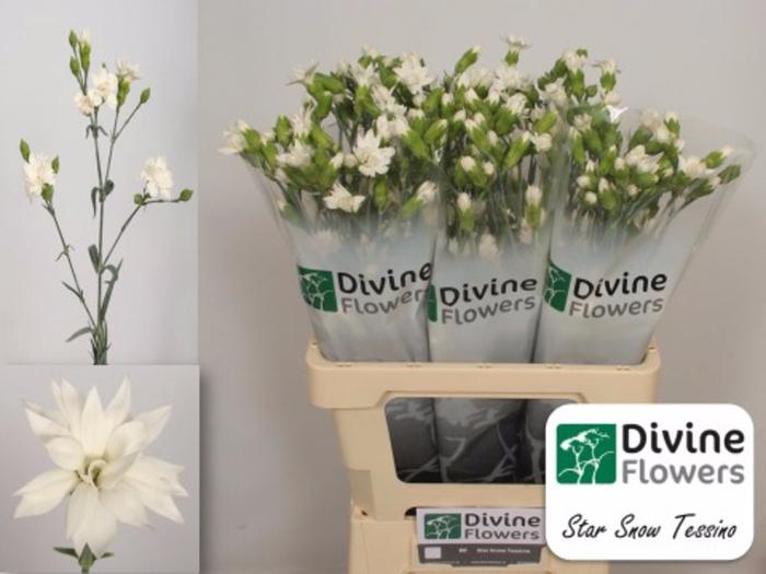 <h4>Dianthus tr. Tessino Snow</h4>