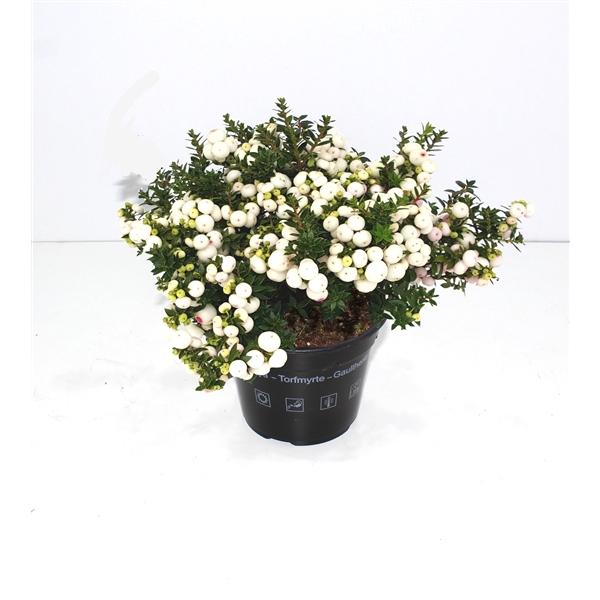 <h4>Pernettya mucr. white</h4>