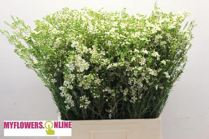 <h4>Chame Blanc 70cm PE</h4>