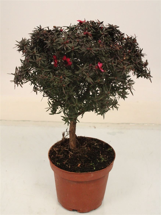 <h4>Leptospermum Op Stam Red</h4>