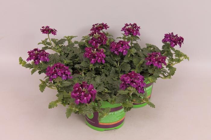 <h4>Verbena Venturi Purple</h4>