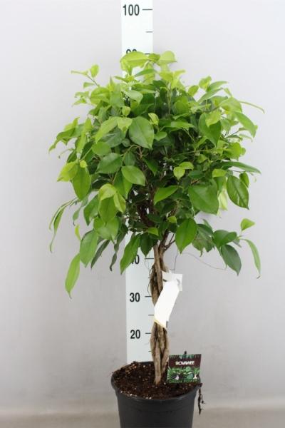 <h4>Ficus microcarpa   ...</h4>