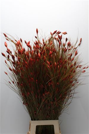 <h4>Kaaps Bell Reed Red</h4>