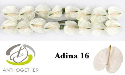 <h4>Anthurium andr. 'Adina'</h4>