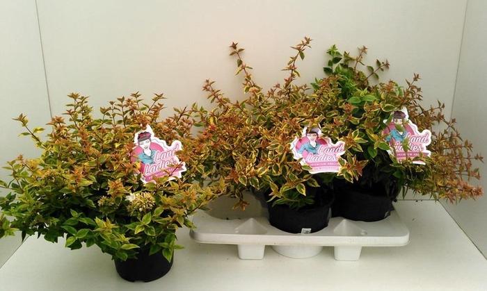 <h4>Abelia grandiflora Lady Summerdream</h4>