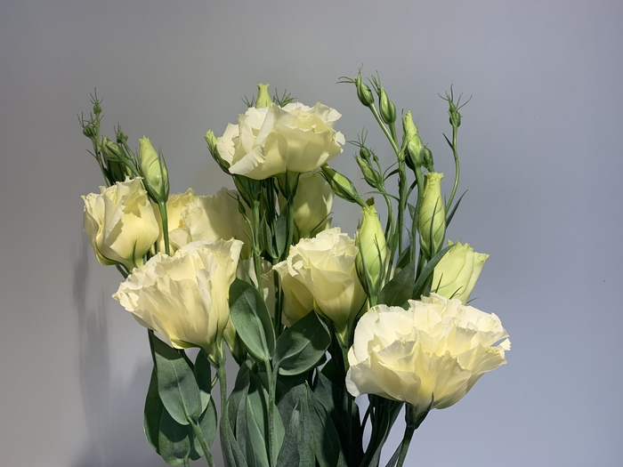 <h4>Lisianthus Cream (Farm Fresh) p/bunch)</h4>
