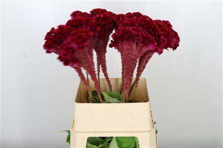 <h4>Celosia C Turbo Scarlet</h4>