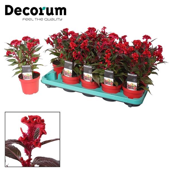 <h4>Celosia Hot Topic Red + etiket</h4>
