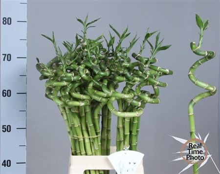 <h4>Drac S Lucky Bamboo 70 Cm</h4>