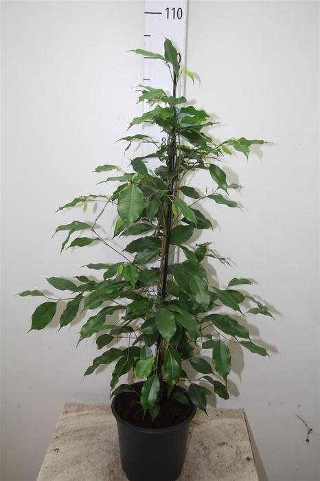 <h4>Ficus Exotica</h4>
