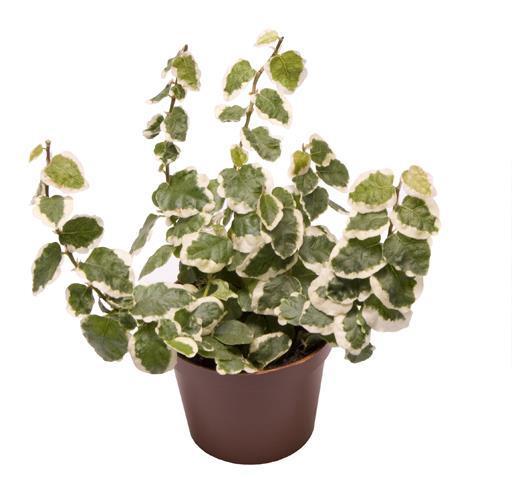 <h4>Ficus Pumila Bellus 6Ø 18cm</h4>