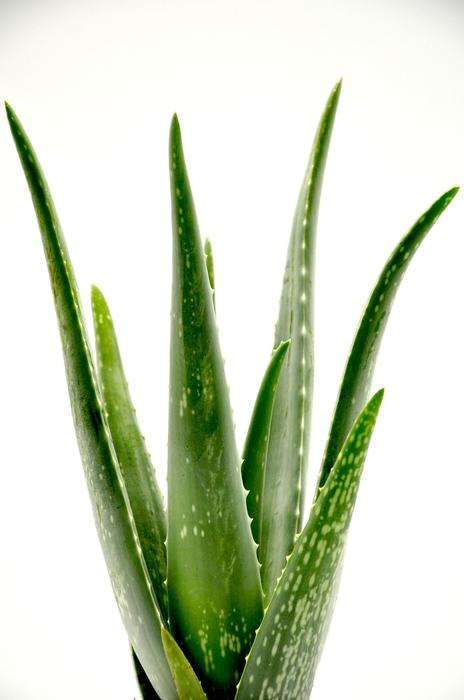 Aloe Vera 14Ø 50cm