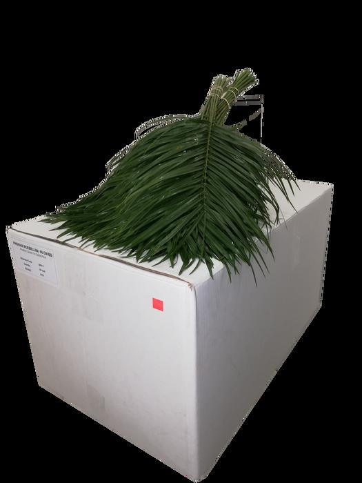 <h4>Phoenix Roebelenii 60cm BQ</h4>