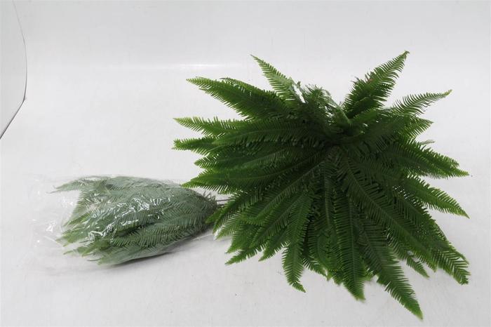 <h4>Umbruella Cyperus (P. Bos) X1</h4>