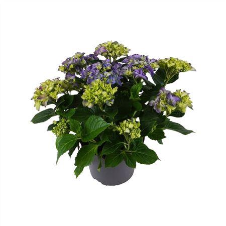 <h4>Hydrangea Mophead Blue 7+</h4>