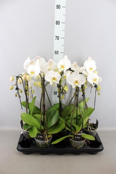<h4>Phalaenopsis  'Ant Leeds'</h4>