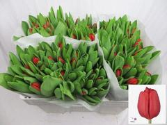 <h4>Tulipan single Escape</h4>