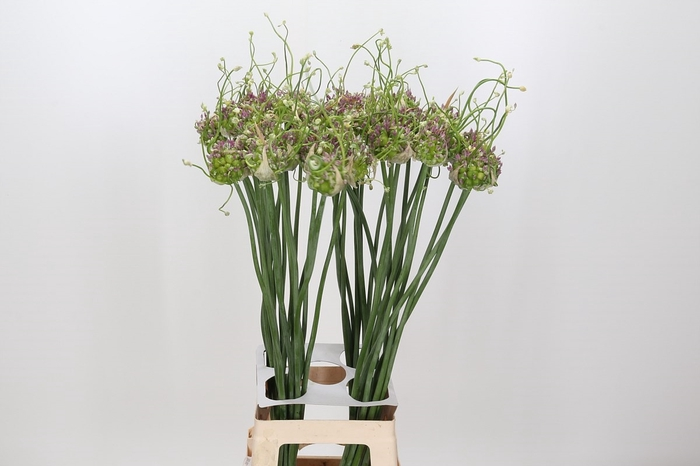 <h4>Allium Green Drops</h4>