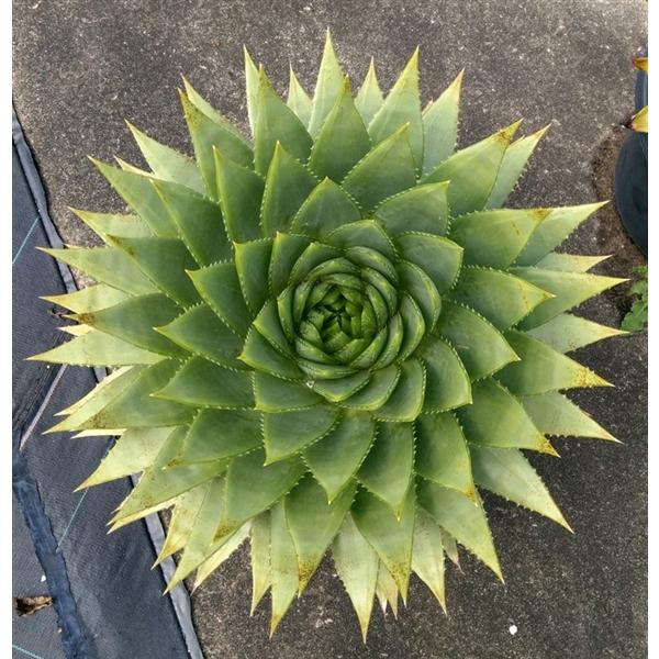 <h4>Aloë polyphylla [Spiral Aloë, adult stage]</h4>
