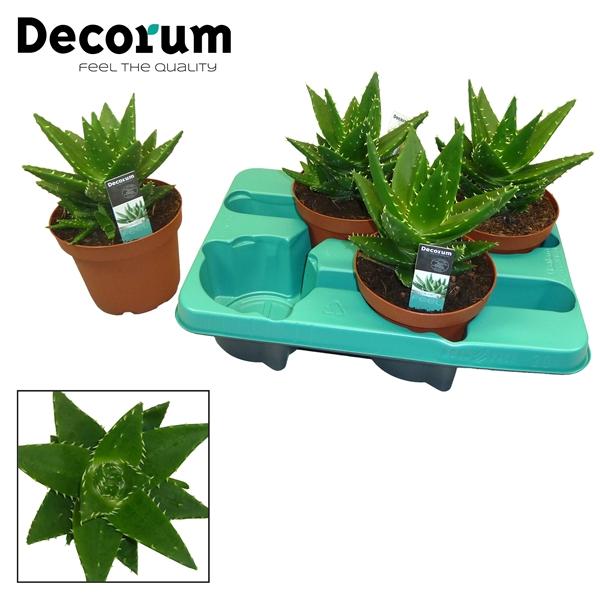 <h4>Aloe mitriformis</h4>