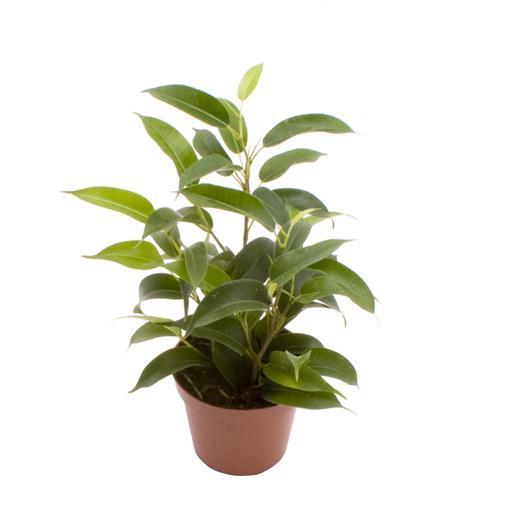 <h4>Ficus Benjamina Natasha  6Ø 18cm</h4>