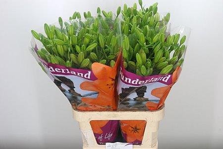 <h4>Li La Sunderland Orange</h4>