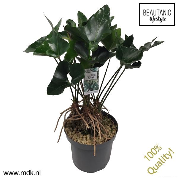 <h4>Anthurium Arrow Toef (4-5 planten per pot)</h4>