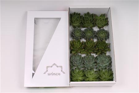 <h4>Echeveria Green Mix (wincx) Cutfl (5 Spcs)</h4>