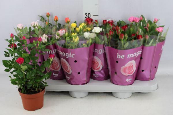 <h4>Rosa  'Beau Monde'   ...mix</h4>