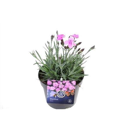 <h4>Dianthus Dinetta</h4>